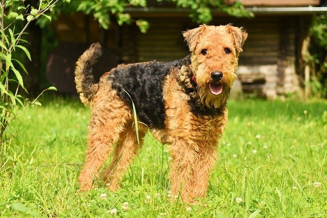 Airedale Terrier - dogs that do not shed