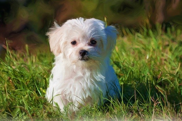 Maltese - small dogs that do not shed