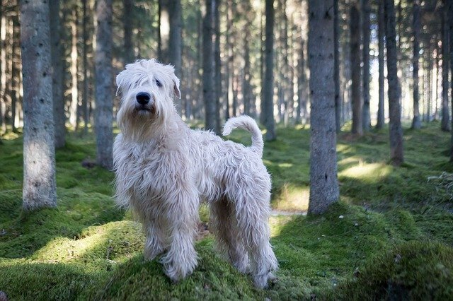 Wheaten-Terrier