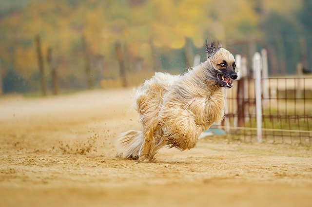 afghan-hound-Fastest dogs breeds