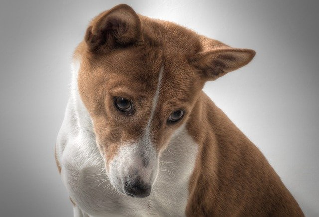 basenji - dogs that do not shed