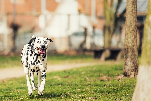 dalmatians-Fastest dogs breeds