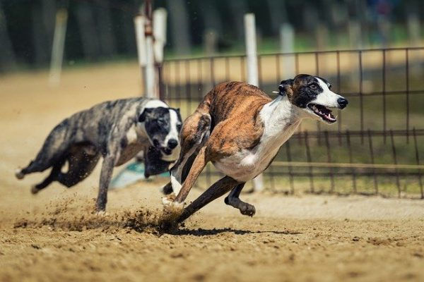 Top 20 Fastest dog breeds – 2020 | Racing dogs breeds