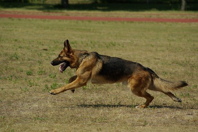 german-shepherd-fastest-dogs-breeds