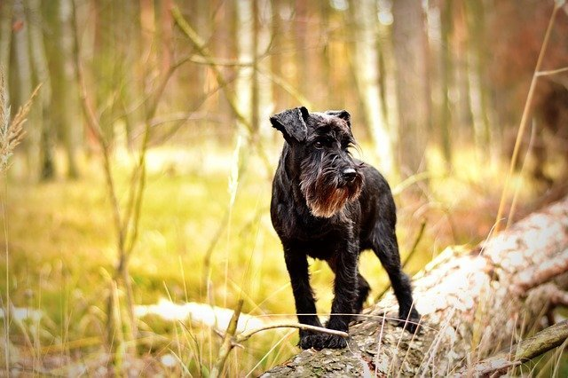 miniature-schnauzer - small dogs that do not shed