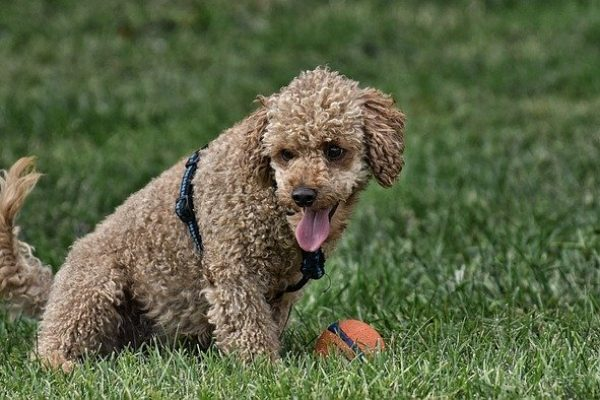 How big do Poodles get? Poodles Mix  Height and Weight Information
