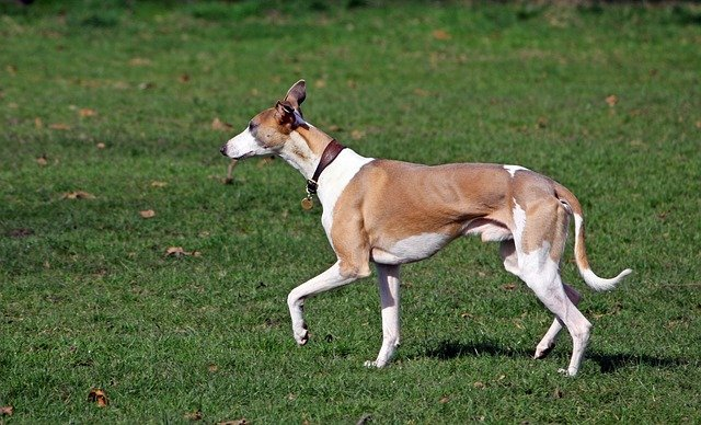 whippet - Fastest dogs