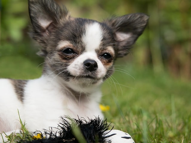 Dogs for apartment living - chihuahua