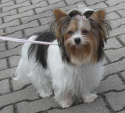 Biewer Yorkie white