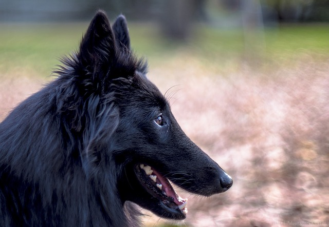 Belgian Sheepdog - Shepherd dog