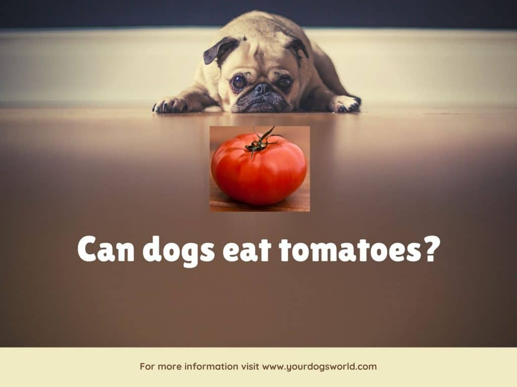 can dog eat tomato