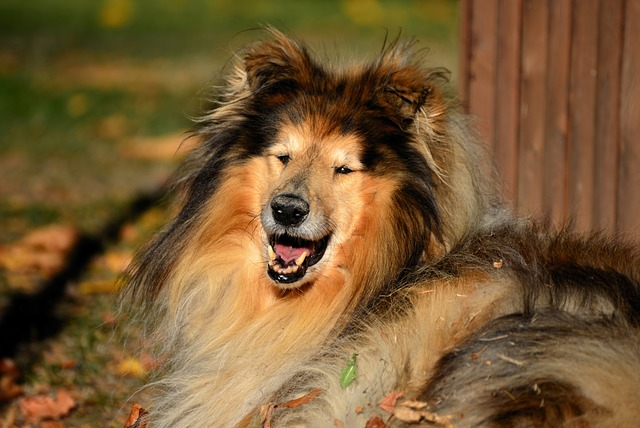 Rough Collie - Shepherd dog