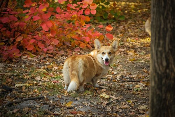 Can I shave My Corgi? Will it Grow Back?