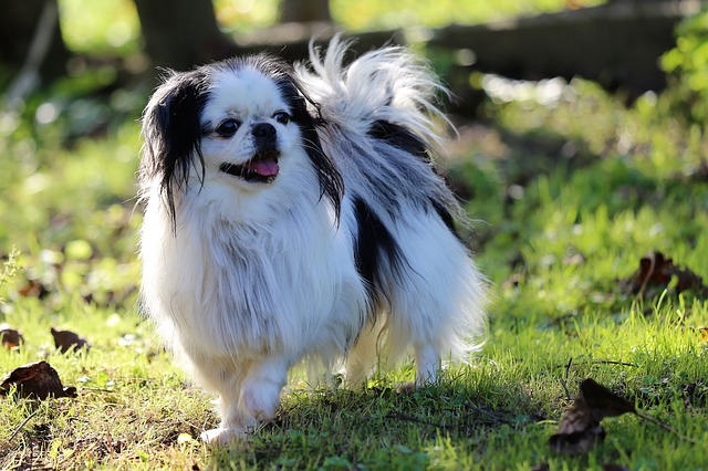 Japanese Chin - small Japanese dog breeds