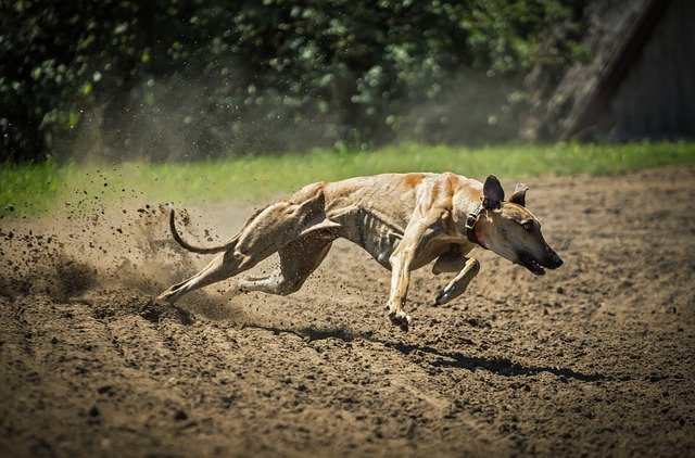 Greyhound - Fastest dog breed in the world