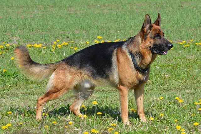 breeding german shepherd