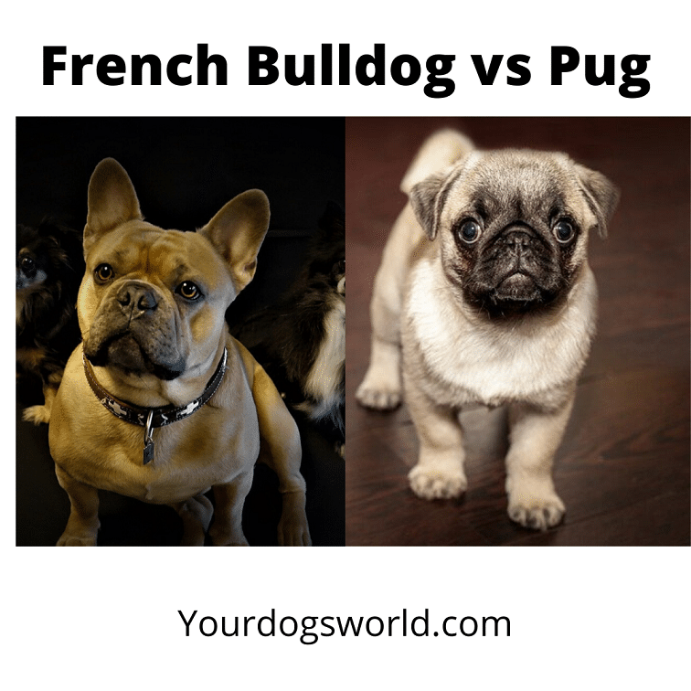 French Bulldog vs Pug
