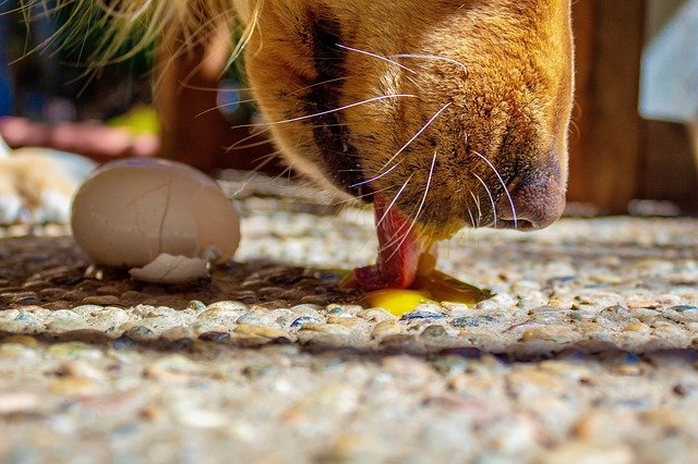 Can dogs eat eggshell
