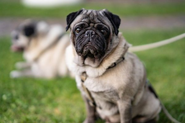 Causes for Pugs Getting Fat and Tips to Prevent It