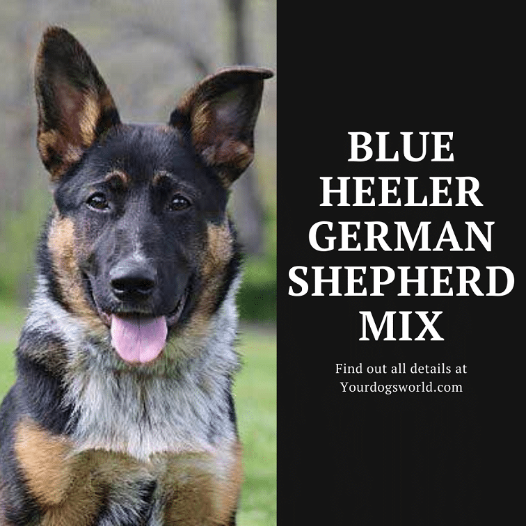 Blue Heeler German Shepherd mix