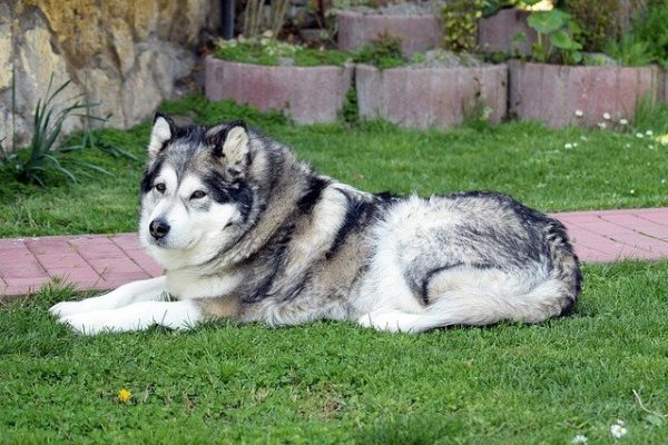 Giant Alaskan Malamute – temperament, size, and other facts
