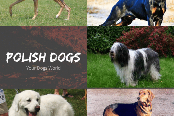 Polish Dogs breeds – 5 Most popular dogs from Poland
