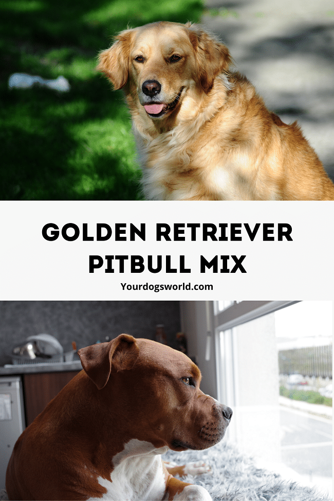 pitbull Golden retriever mix