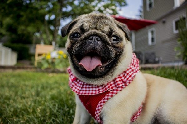 Do Pugs Bark A Lot? How to Stop Excessive Barking
