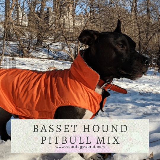 Basset hound pitbull mix