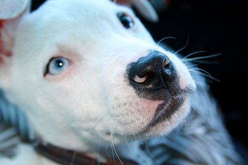 Blue eyed pitbull