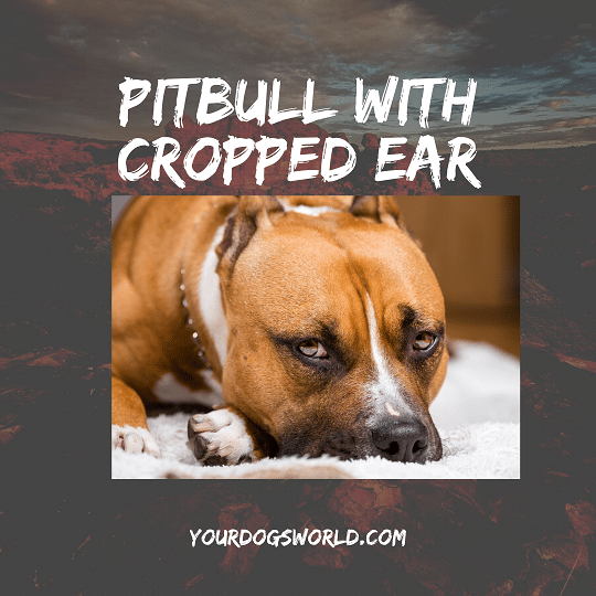 Cropping Pitbull Ears