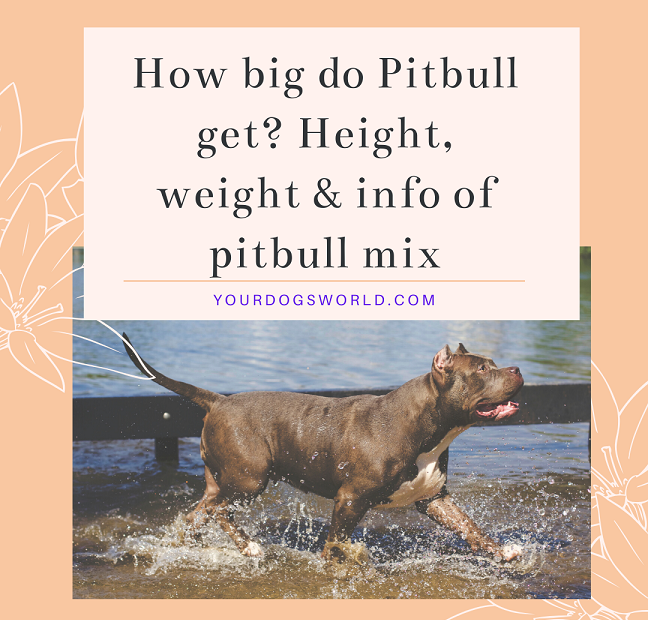 How bug do pitbull get in size