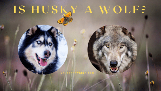 Is husky a wolf?