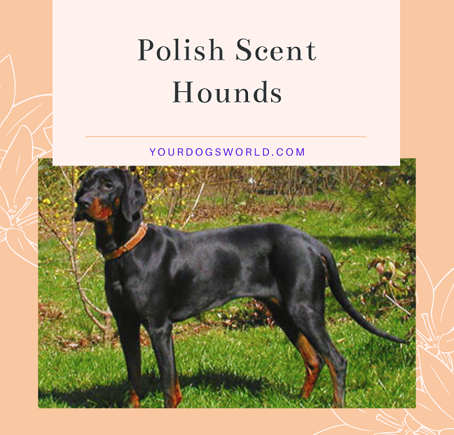 Polish Scent hounds
