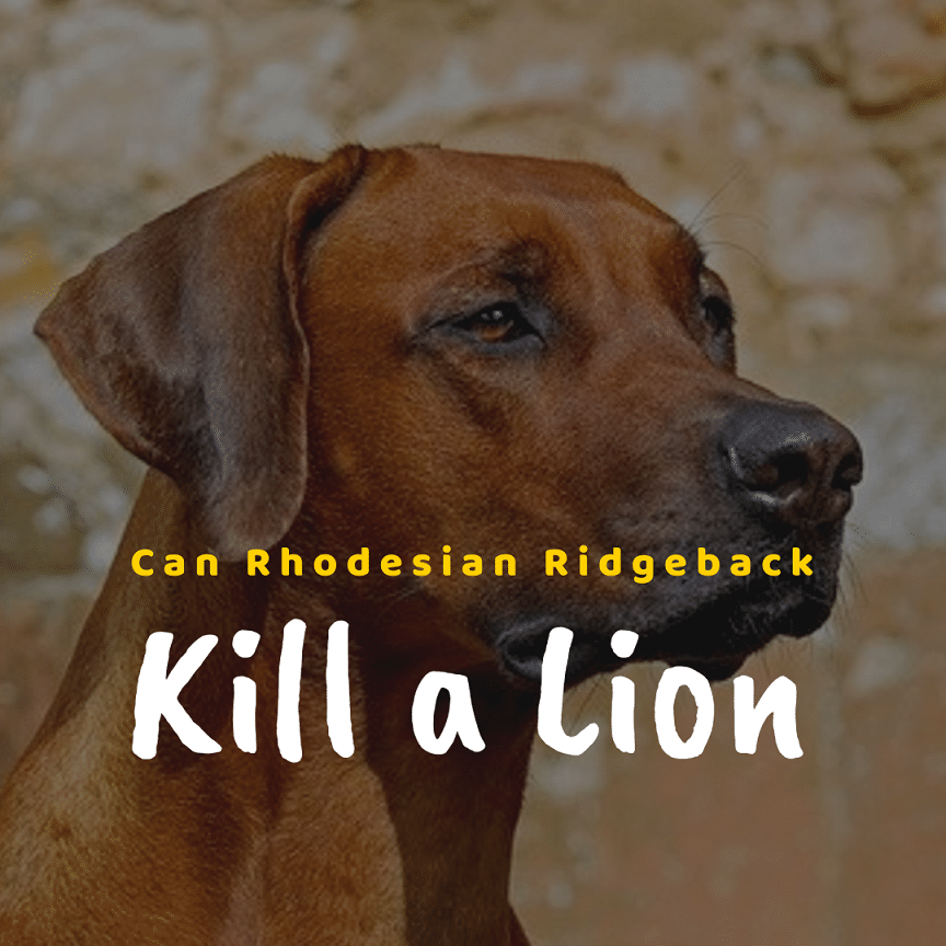 Can a Rhodesian Ridgeback kill a Lion