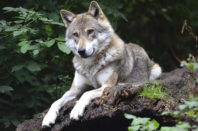 Can wolf be domesticated?