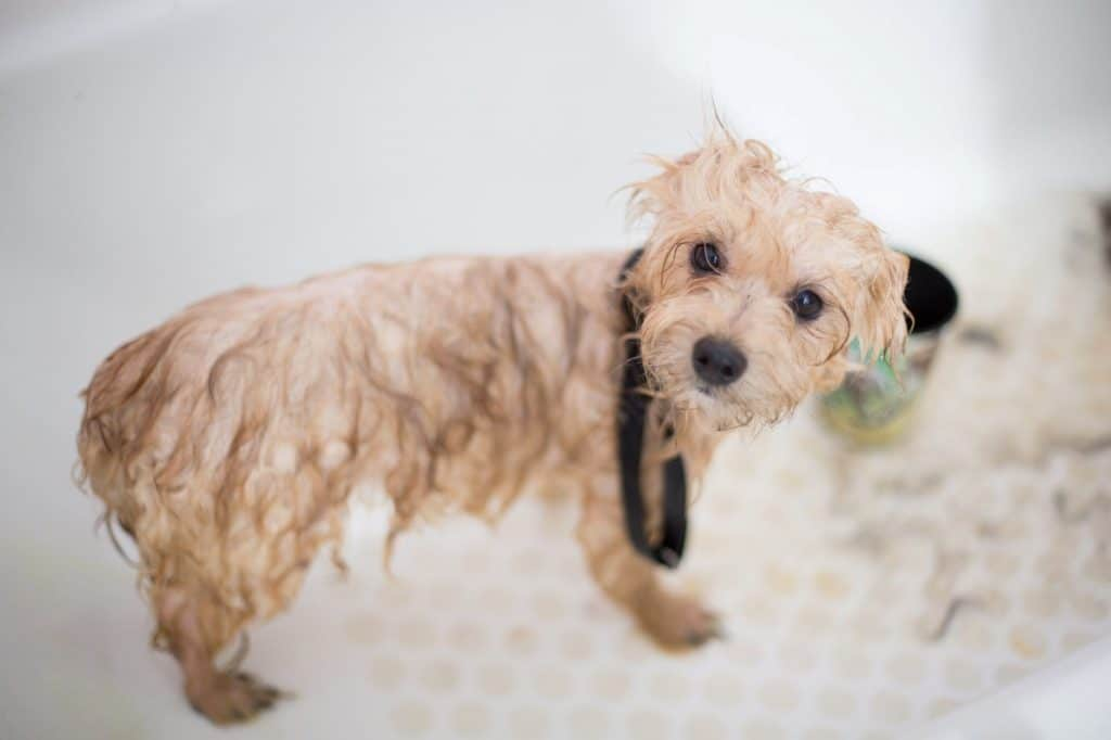 Drying your Maltipoo the right way