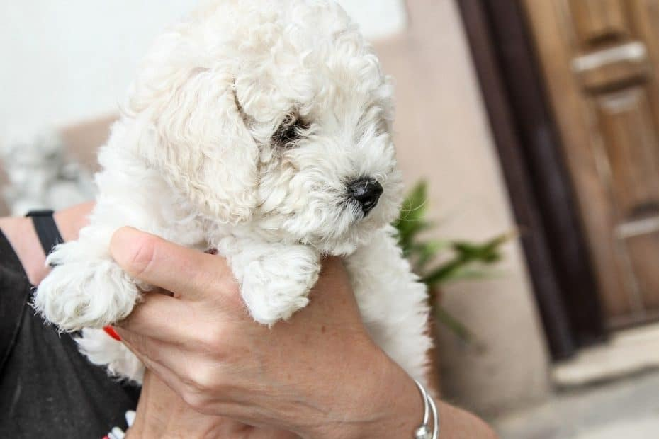 Full Grown Maltipoo - Size, Appearance, Temperament & Care
