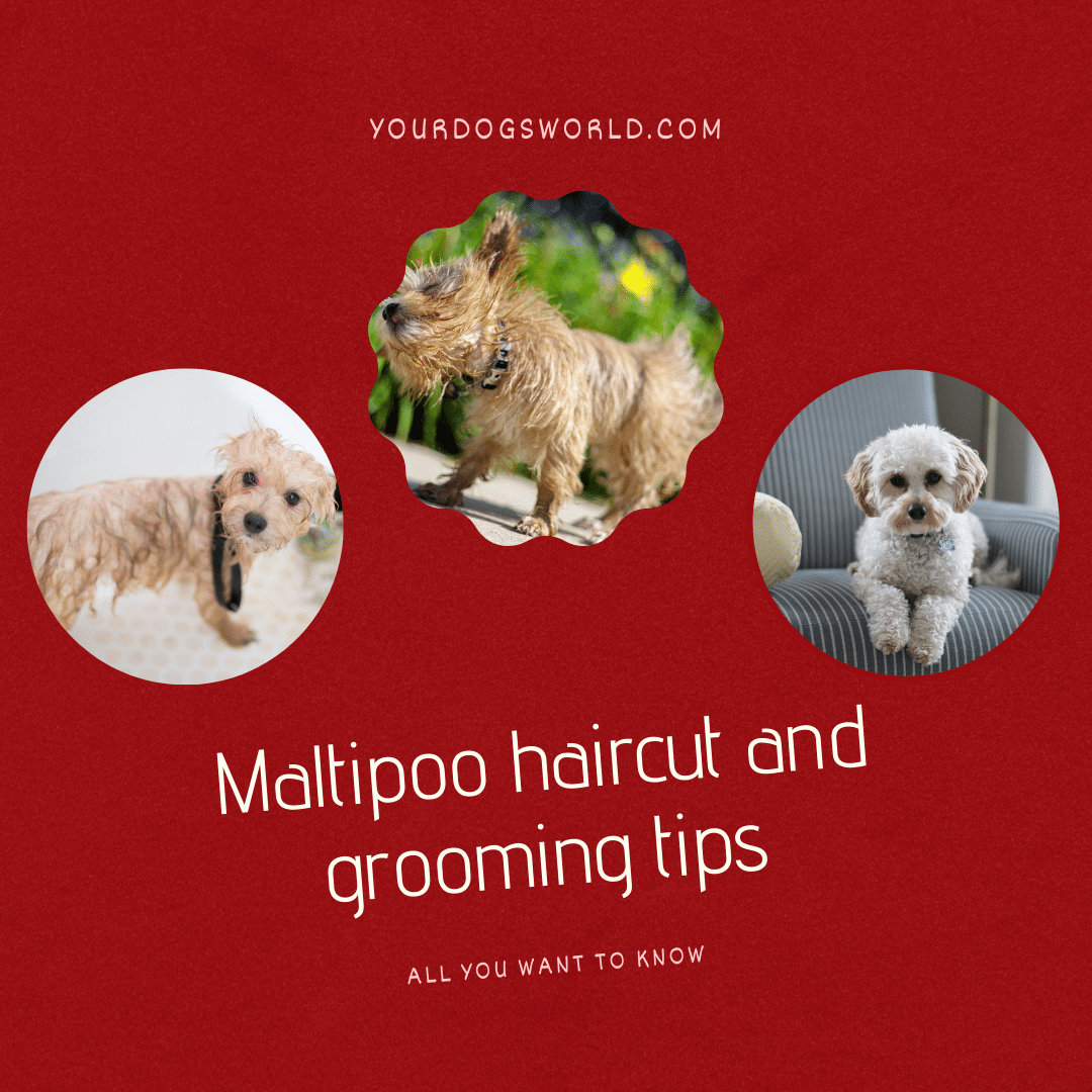 Maltipoo Haircut and Grooming Tips