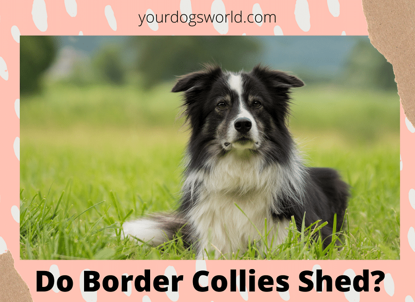 Do Border Collie Shed