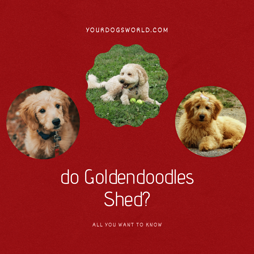 Do goldendoodles shed