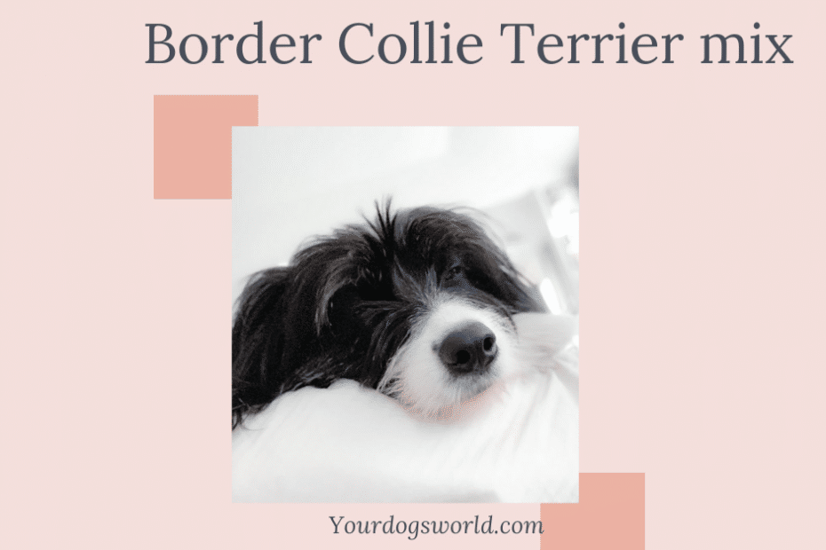 Border Collie terrier mix