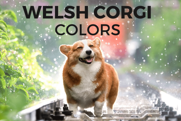 Welsh Corgi colors and coat guide to keeping them fluffy