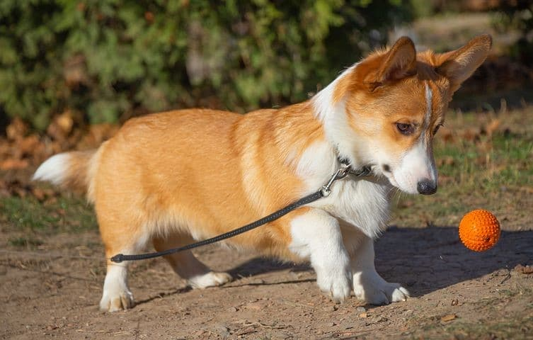 Welsho Corgi color tan