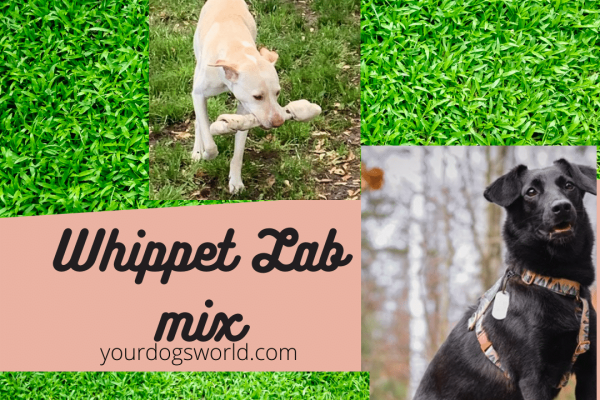 Whippet Lab Mix – What to expect from Whipador?