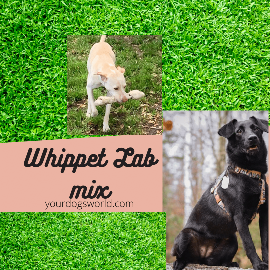 Whippet Lab Mix