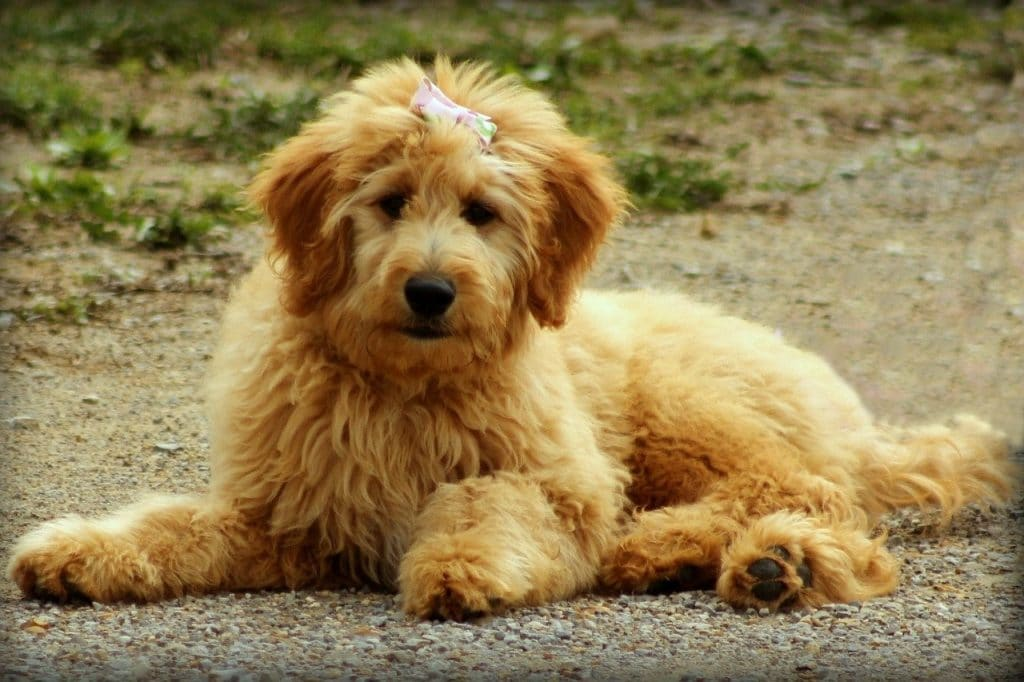 happy goldendoodle