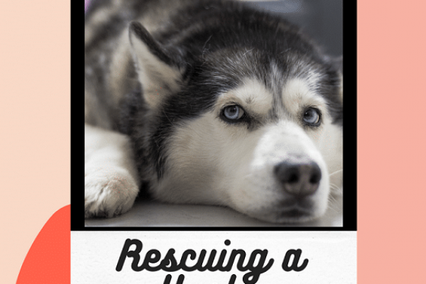 Rescuing a husky – How and what to look for?