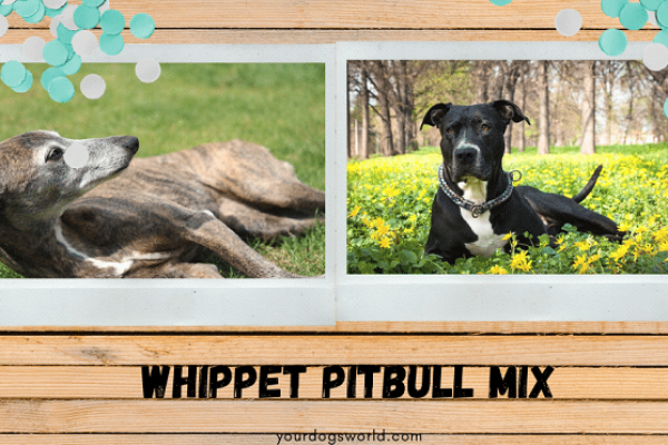 Whippet Pitbull Mix – A complete guide