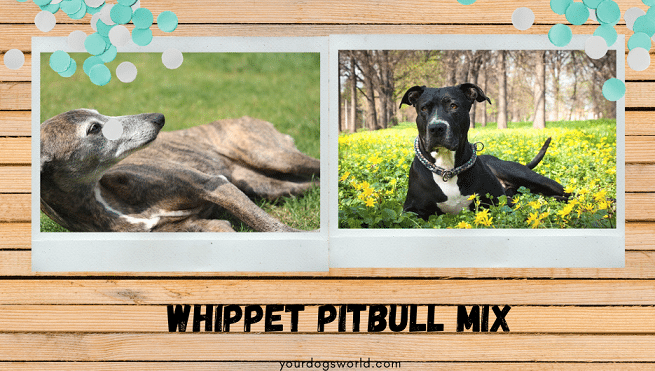 Whippet Pitbull mix